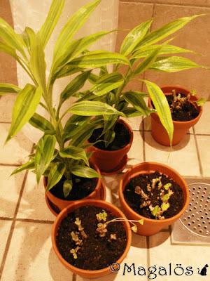 Nyduschade och omplanterade. Tre pelargoner och två dracenor.