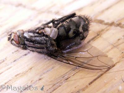 Närbild på död fluga med en vinge kvar.