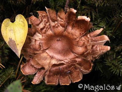 Svamp i skogen som blivit flikig i kanten som böjts uppåt. Ett litet gulnat blad bredvid.
