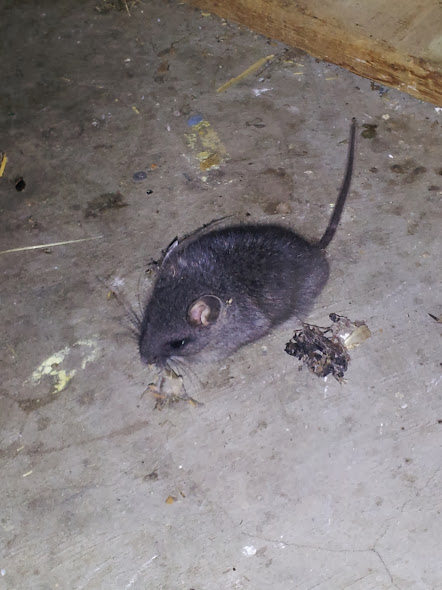 mouse, mice, rodents, pest control, exterminator, 99362, walla walla, milton freewater, dayton