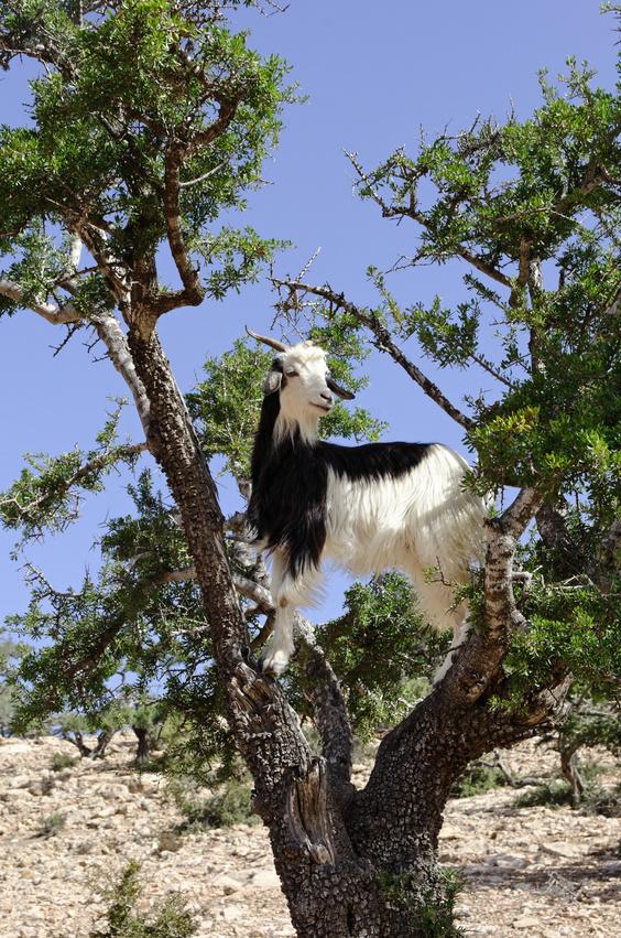 Z czego powstaje olej arganowy. Koza na drzewie