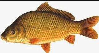 Compressed, bentuk tubuhnya pipih dan kecepatan berenang konstan. Contohnya ikan mas