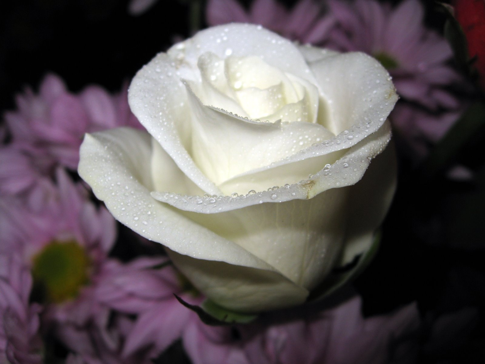 Flowers For Flower Lovers.: White Rose Desktop Hd Wallpapers