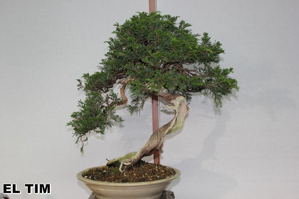 El tim bonsai la sabina de pepe for Bonsai pepe