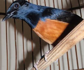 Harga Terbaru Tas Sangkar Burung Murai Saat ini 2017