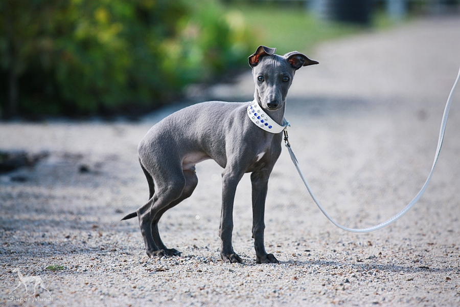 Blue Greyhound Puppies For Sale Goldenacresdogs Com