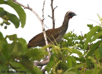endemic birds Brazil