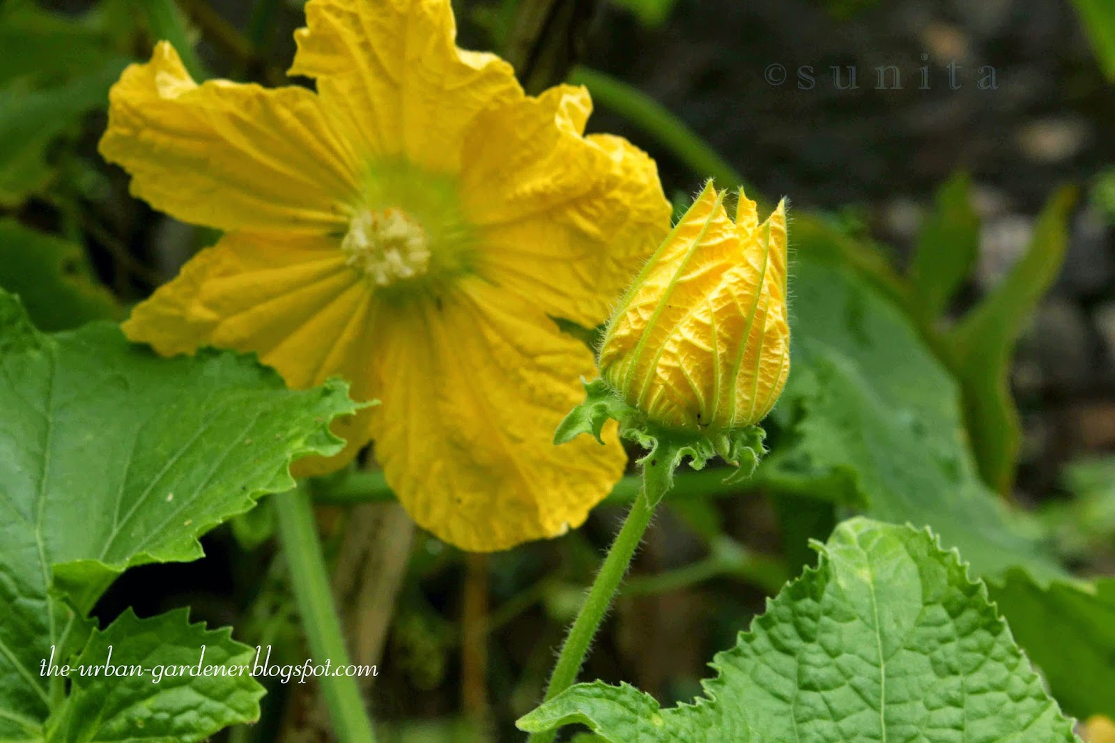 Bright golden flowers of Ash Gourd. Ornamental as well as edible flowers for this vegetable plant.