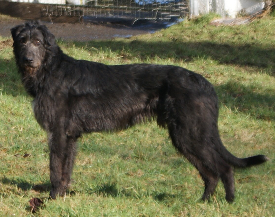 photos of irish wolfhound dog breeds in the world 9809