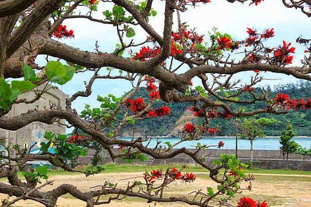 deigo tree, blossoms, ocean and mountain view