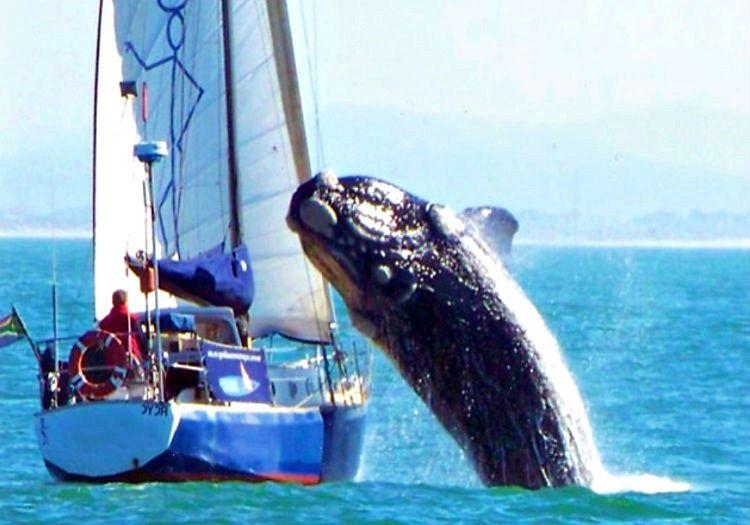 İnsan yiyen balina olarak bilinen orkalar bilinenin aksine insana pek saldırmazlar.