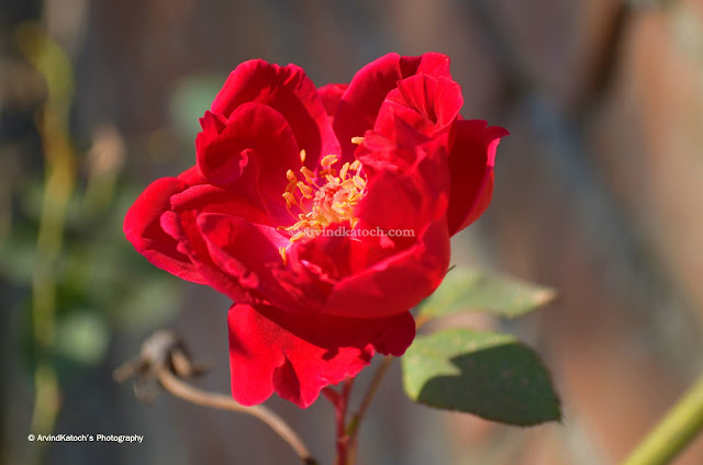 Red Rose, HD, Pic, Rose, Red