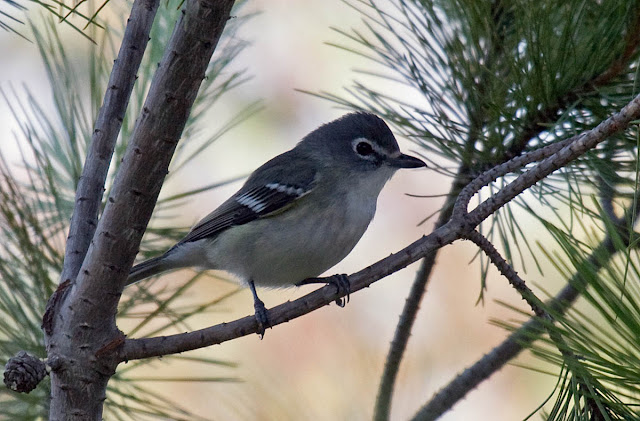 Fresh Plumbeous Vireo. Kit Carson Park, Escondido, California. October 23, 2016.