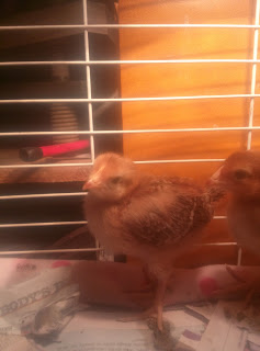 Baby Chick Rhode Island Red 3.5 weeks