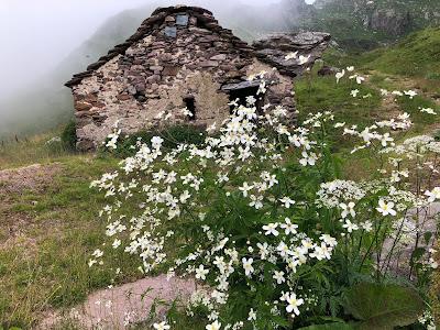 [Ranunculaceae] Ranunculus aconitifolius – Aconite-Leaf Buttercup (Ranuncolo a foglie di aconito) along the trail.
