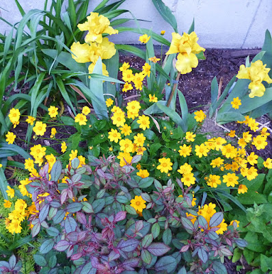 Coreopsis and yellow iris
