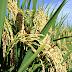 Produtores querem redução no ICMS do arroz comercializado no RS