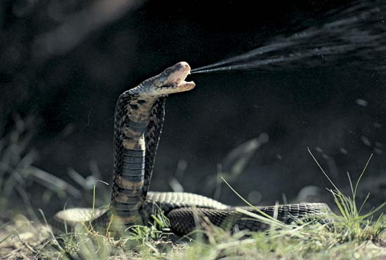 10 อันดับสัตว์, จัดอันดับ, ชีวิตสัตว์, สัตว์มีพิษ, สิบอันดับสัตว์, งูเห่าพ่นพิษ