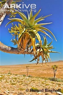 Aloe temblador bastardo Aloe pillansii