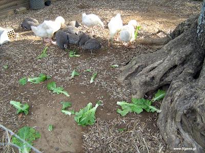 Η εκτροφή της φραγκόκοτας