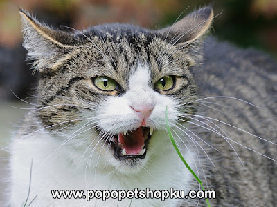 kucing rabies - popopetshopku.com