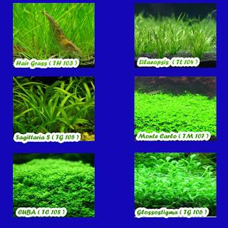hairgrass, saggita, cuba, glosso, lilaeopsis, monte