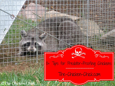 Protecting a flock against predators is one of the biggest challenges a backyard chicken keeper faces. The best offense is a good defense and knowing the basics of coop security is essential to keeping chickens safe from harm. The following are my best recommendations for predator-proofing chickens based on my experiences.