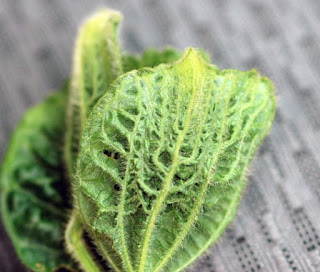 soybean-leaf-veins
