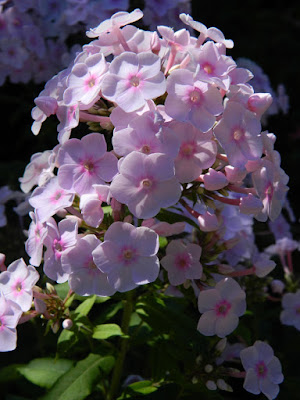 Pink Phlox paniculata Summer Phlox at the Toronto Botanical Garden by garden muses-not another Toronto gardening blog