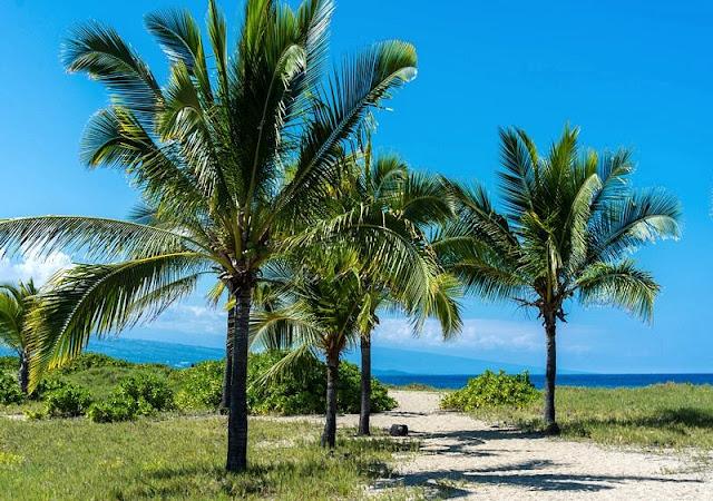 coconut tree,beach and horizon at Hawaii Beach