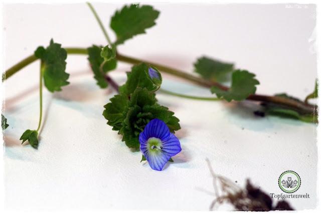 Gartenblog Topfgartenwelt Wird das was oder kann das weg? - Persisicher Ehrenpreis - Unkraut rechtzeitig erkennen und entfernen