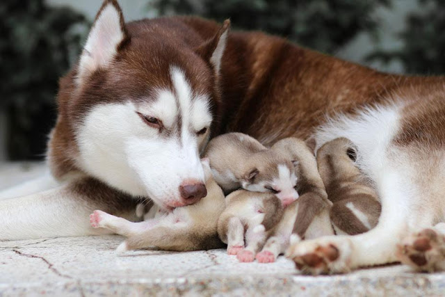 Bệnh sốt giật canxi ở chó mẹ