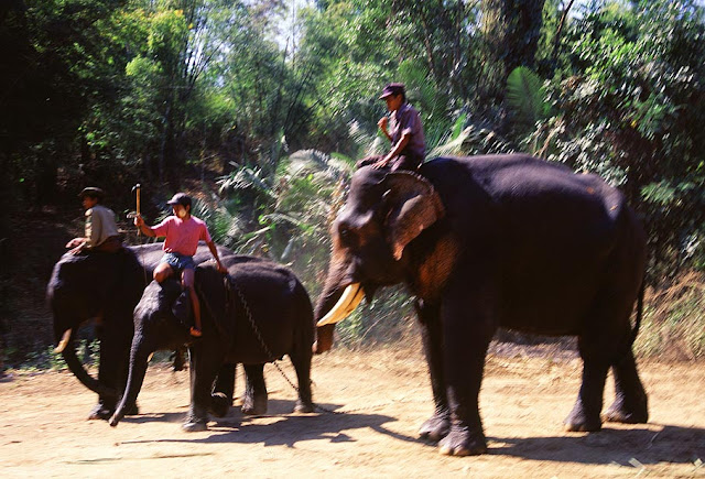 Asian Elephants at Alaungdaw Kathapa