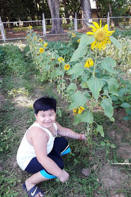 sunflower, sunflower garden, CLSU, Holy Week, summer