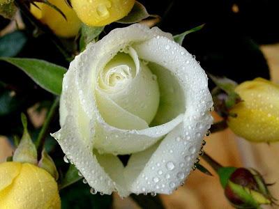 hình ảnh đẹp hoa hồng bạch, hồng trắng