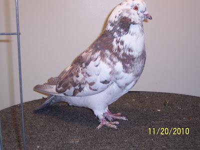 american giant runt pigeons