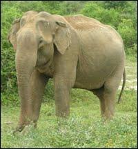Gajah Tidur Berdiri