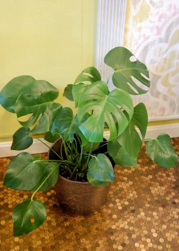 The Indoor Garden: Split Leaf Philodendron
