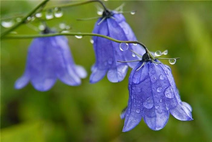 flor-nacional-de-rusia