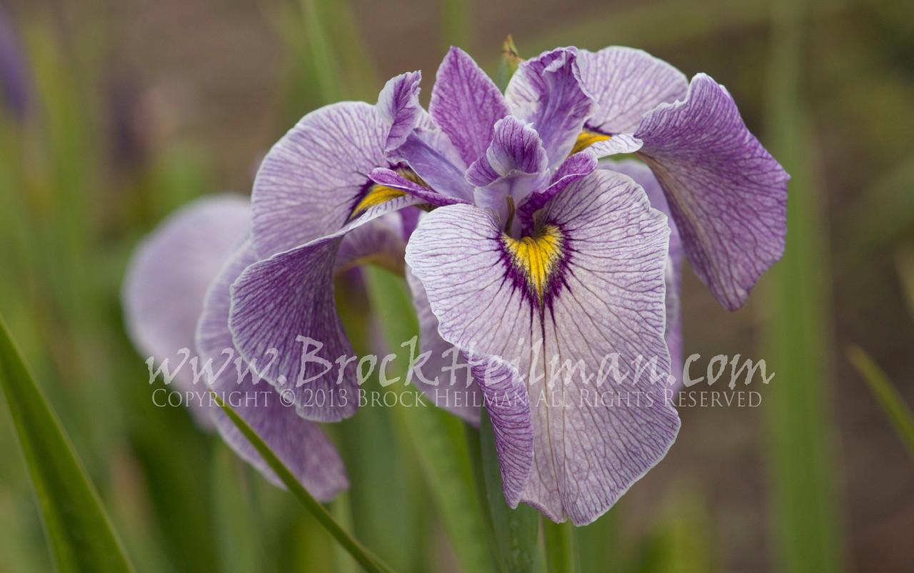 World Of Irises 2018