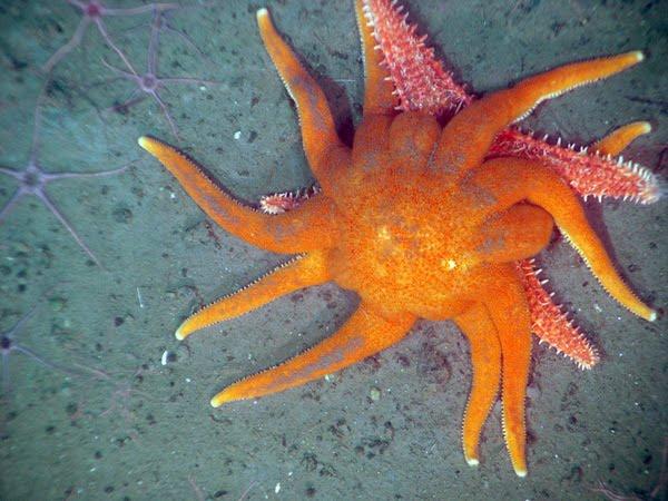 The Echinoblog What Eats Starfish Aka What Do Starfish