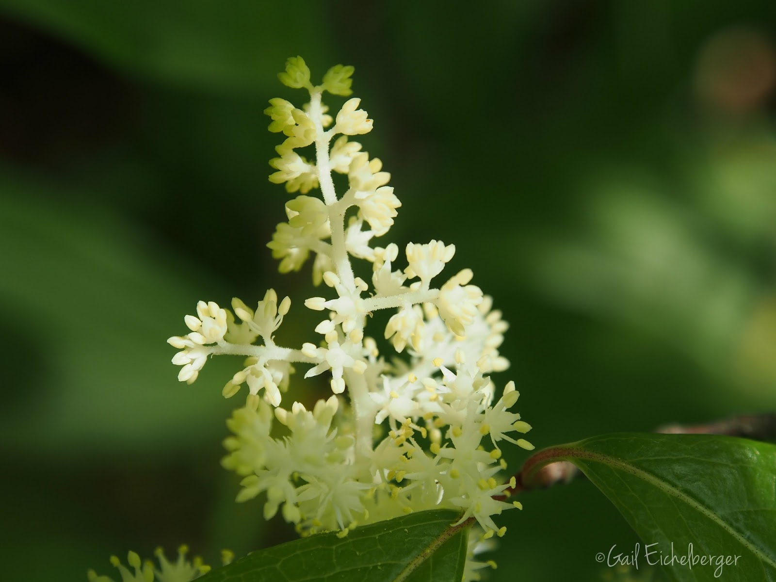 clay and limestone: Wildflower Wednesday: False Solomon's Seal