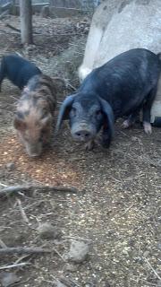 Heritage Pig Breed : Meishan Pig