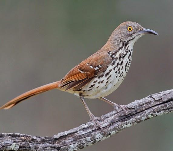 burung long billed thrasher song