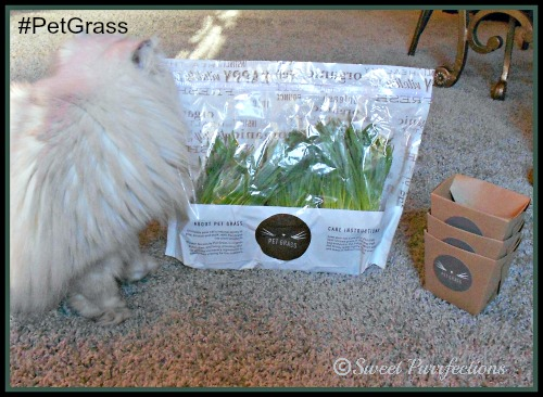 Truffle is impatiently waiting for the bag of Whisker Greens #PetGrass to be opened.