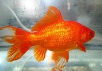 Jenis Ikan Koki Common ikan hias tercantik