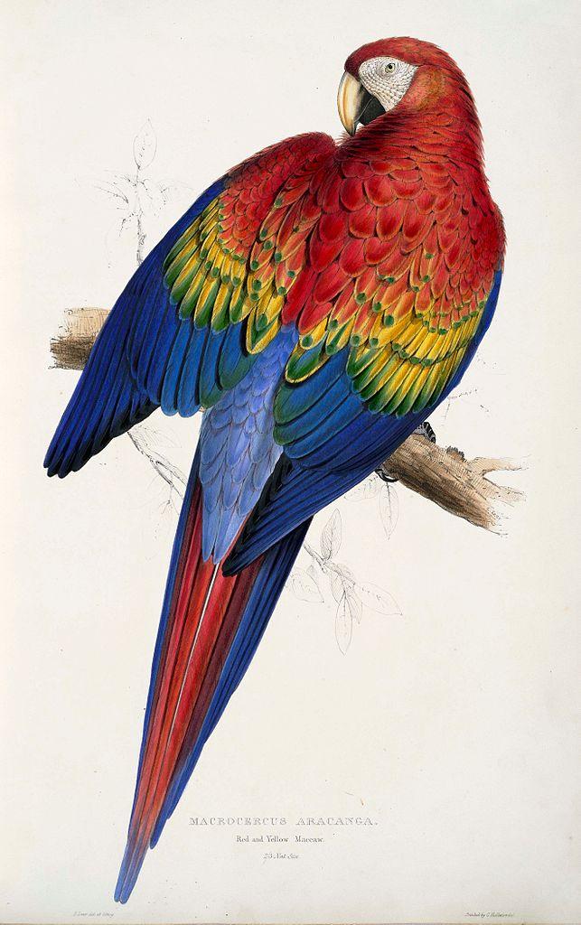 scarlet macaw birds high - photo #27