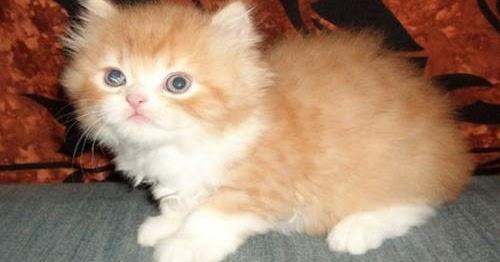 Daftar Harga Kucing Anggora Anakan Terbaru Bulan November