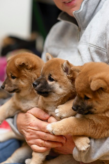 love shiba inu puppies, miss when dad used to breed them. they are the sweetest things ever.