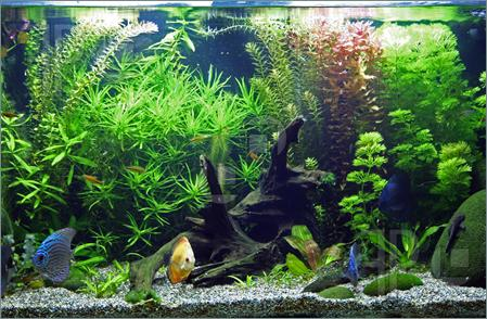 rong đuôi chó rất dễ trồng, tăng phần phong phú cho hệ thực vật trong hồ thủy sinh